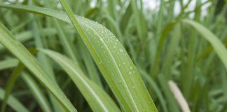Folhas de cana-de-açúcar com gotas de orvalho.