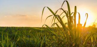 Boa notícia: seis usinas de cana retomam produção de açúcar e etanol