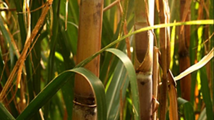 Usinas ampliam uso de controle biológico para enfrentar pragas e doenças da cana