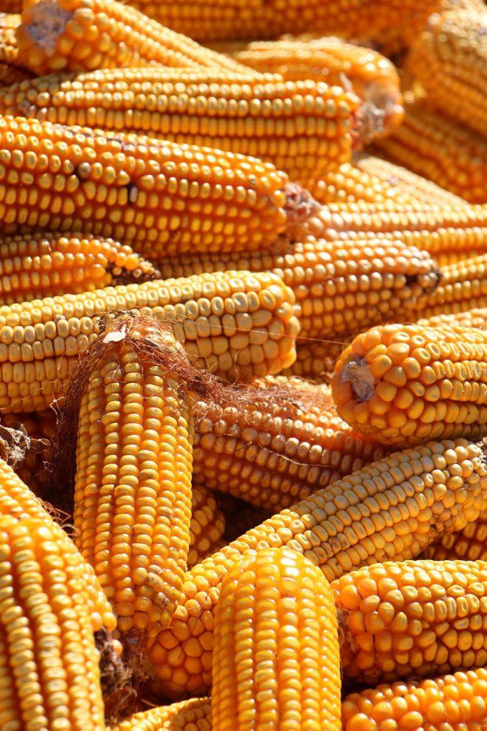 Etanol de milho avança em produção e terá duas novas usinas