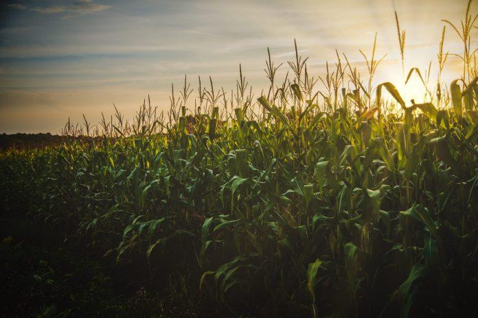 Como o milho ajuda a garantir a oferta de etanol no Brasil